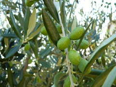 Wer Ruhe und Erholung sucht ist hier, zwischen Olivenhainen und Laubbäumen am richtigen Ort.